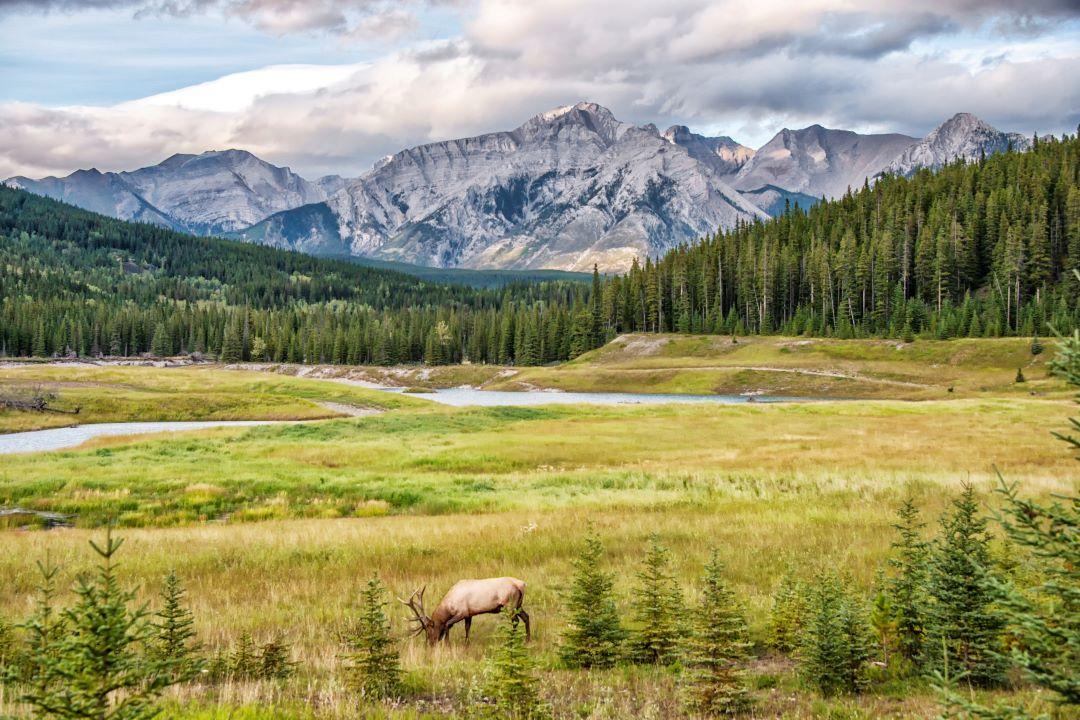 Bull Elk in Banff National Park